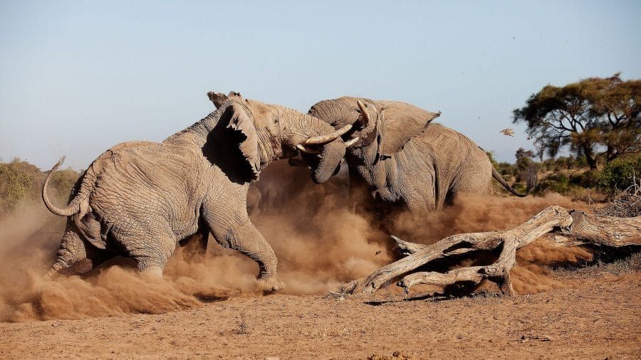 Two Elephants Bulls Fight in South Africa