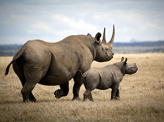 Rhino Meat Proposed To Be Sold to Public for Consumption