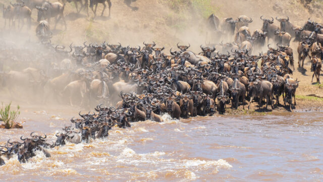 Wildebeest Migration, Crossings, SafariLive, Wildearth