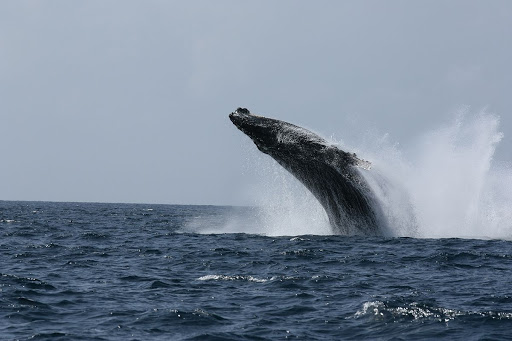 Humpback Whales Excursions in Watamu Kenya - What to Know